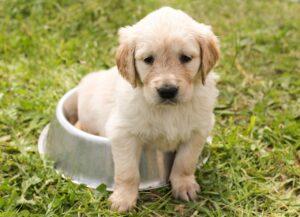 puppy, golden retriever, dog-1207816.jpg